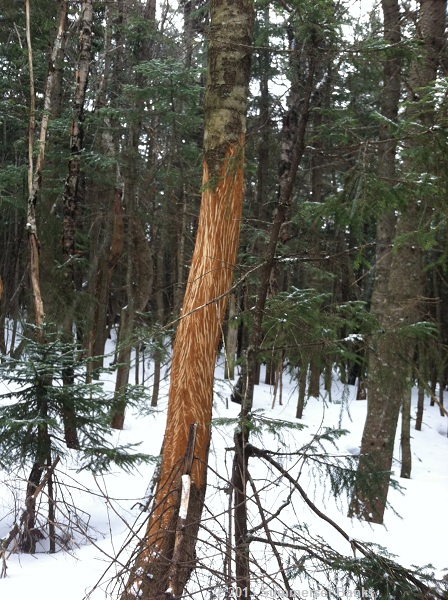 Looks like some long claws had been scratching at this tree. Thankfully, not recently.