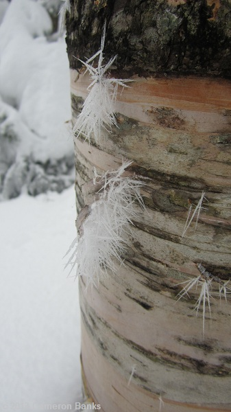 Feathery ice on a birch tree, which fascinated Cameron.