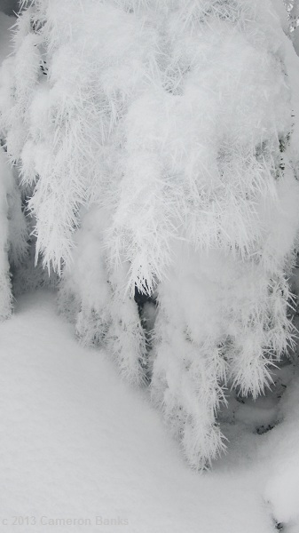 Further up the trail, he found an entire tree covered in feathery ice.