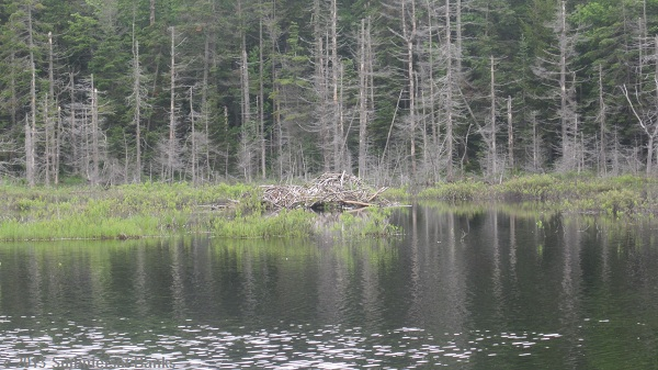 Large beaver lodge in a beaver pond that we passed on Day 2.