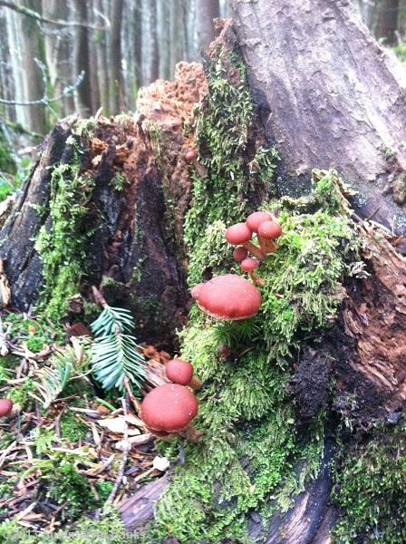First fungus sighting of the year, these cute little red-brown mushrooms on the Mt. Tom Spur.