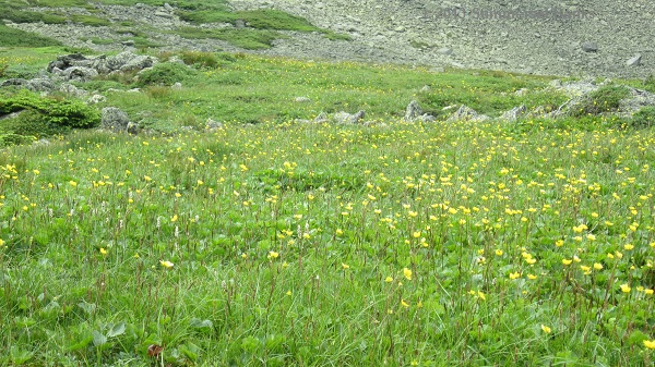 A small field of blooming Mountain Avens.