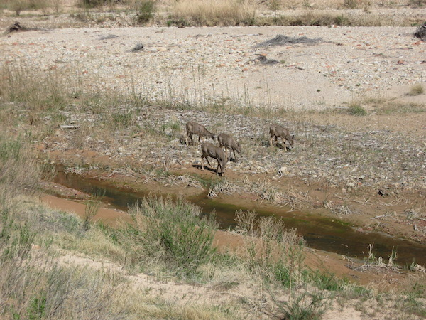 Mule deer foraging along the river.  Throughout my trip to parks, I'd see or hear more mule deer.