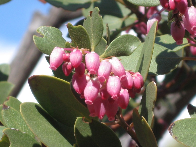 Manzanita flowers.  These flowers are tiny and grow in clusters on shrubs.