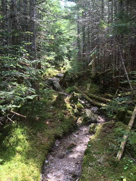 Beautiful, but very dense forest along the upper portion of the Marston Trail leading to North Brother.