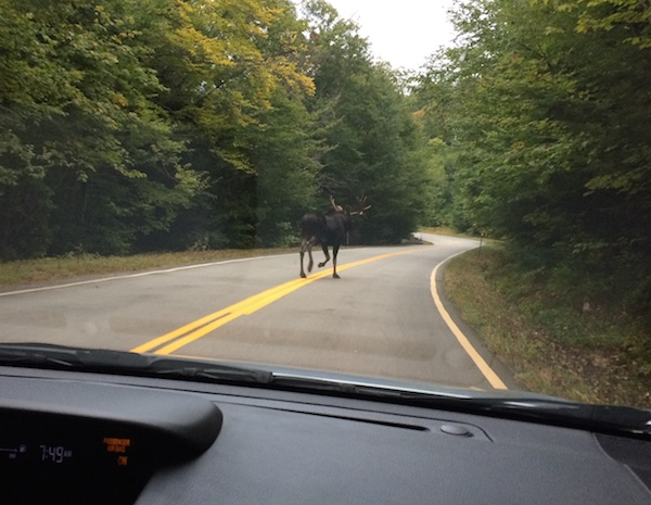 Bull moose on Bear Notch Road on our way to Sawyer River Road.