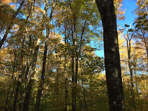 Blue sky, yellow leaves, fall is here!