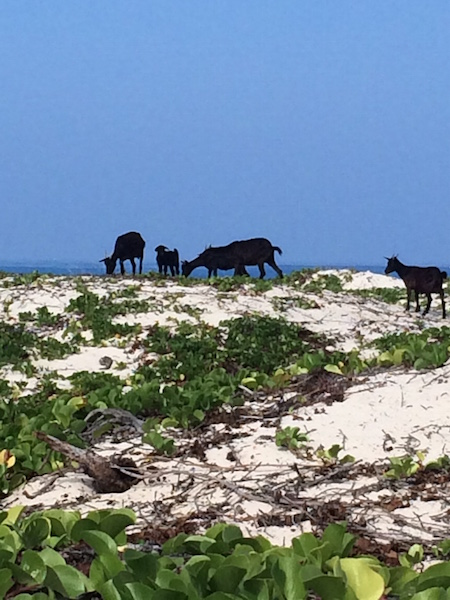 Feral goats on the sand dunes near Makalawena Beach.