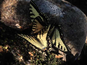 Franconia Falls was awash in butterflies. Several of them were gathered by a rock. Mating frenzy? Uncertain.
