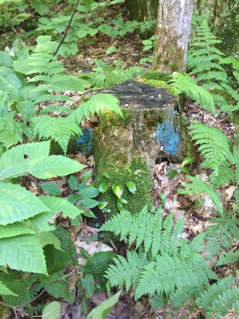 Strange blue blazed stump we found early on in the bushwhack. No idea how the blue paint got there.